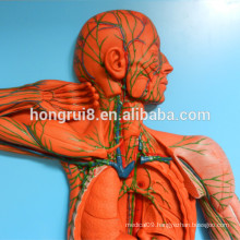 ISO Vascular System Model, Anatomical Model of Lymph System