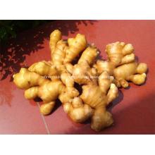 Good quality fresh fat ginger