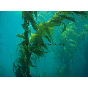 Manufacturer Natural Herbal Kelp Seaweed Extract Powder