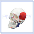 PNT-0151 life size adult muscle skull model