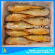Croaker amarela congelada de alta qualidade
