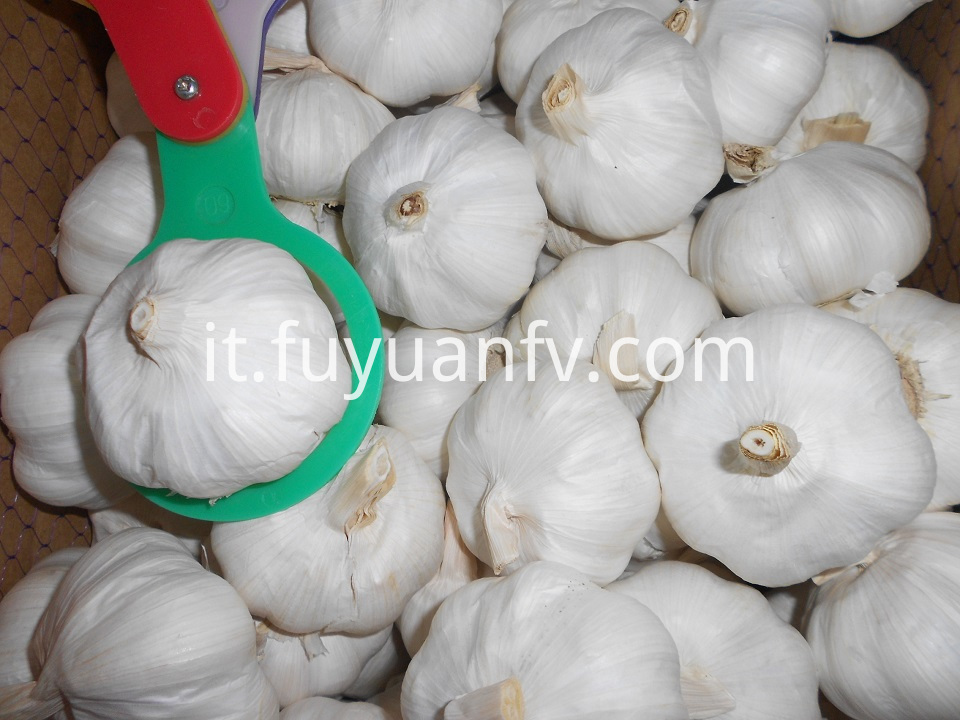 pure white garlic 6.0cm