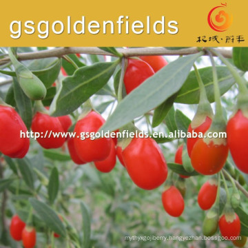 the size of 0207 goji berry Seeding fruitful ningxia goji berry