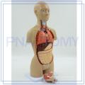 PNT-0322cc corps humain en plastique de torse modèle anatomique
