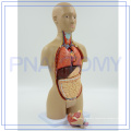 PNT-0322 high quality Anatomical Human Female Body Torso Teaching Model for library hospitals school etc