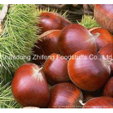 New Crop Chestnut with Competitive Price