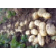 chinese potato exporters fresh potato buyers