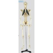 Medium Skelecton Modell (MSSNM85)
