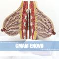 ANATOMY22 (12460) Женская модель секции молочной железы у кормящих модель груди, 2 части, Анатомия модели > женские модели