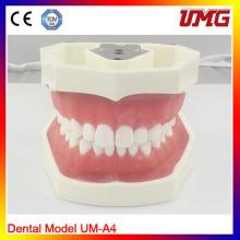 Um-A4 Standard Soft Gum Dental Model with 28 Teeth