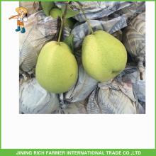 Bom Qulity Fresh Shandong Pear exportação para a Índia