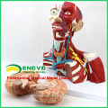 MUSCLE16(12310) медицинской анатомии головы и модель мышцы шеи 12310