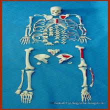 Esqueleto humano completo desarticulado, modelo anatomico de músculos pintados