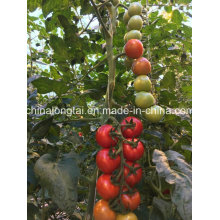 Ficelle d'emballage de tomates Green House