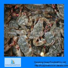 Nouveau crabe de boue congelé de haute qualité