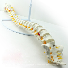 SPINE01 (12372) Medical Science Nature Classic Flexible Spine Model without Pelvis , Spine/Vertebrae Models > Life-Size Spine