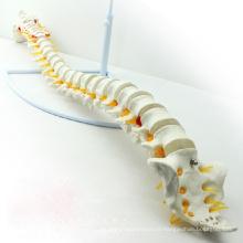SPINE01 (12372) Medical Science Nature Classic Modelo de Coluna Flexível sem Pelve, Espinha / Vertebrae Modelos> Coluna em Tamanho Real