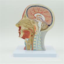 China profesional personalizada modelo de cerebro anatomía humana