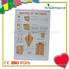 Zahnmedizinische 3D Anatomie-Diagramm