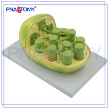 PNT-0837 Le modèle végétal étudiant en éducation biologique enseigne le modèle anatomique du chloroplaste