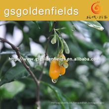 2017 venta caliente amarilla Gojierry Plántulas
