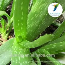 Extracto de aloe vera orgánica en polvo aloe barbadensis miller
