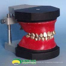 VENDER 12565 Modelo de Typodont Dental de Dientes de Ortodoncia