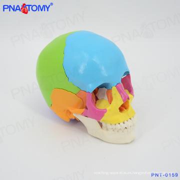 PNT-0159 modelo de cráneo de color humano, 22 partes de tamaño natural