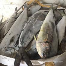 Frozen Mahi Mahi Fish Fillet IWP