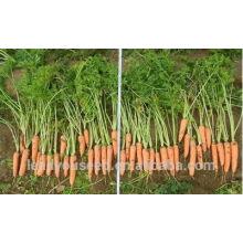 CA05 Hongyang mid-early maturidade f1 sementes de cenoura qualidade híbrida para o plantio