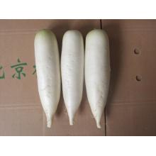 Nuevo rábano blanco fresco competitivo de la cosecha (450-500g)