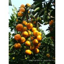 2014 neue Ernte chinesisch Frische Baby Orange