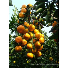 2014 nuevo cultivo chino naranja bebé fresco