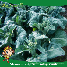 Suntoday mudas de hortaliças sortidas F1 kale kailan Repolho de mostarda alta vezes sementes de saúde de óleo de semente preta para venda (35002)