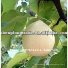 shandong fresh ya pear