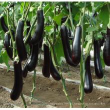 HE19 Фусуна черные гибридные семена баклажан