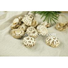 Boa qualidade cogumelo de Shiitake da flor branca