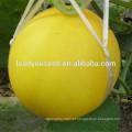 MSM26 Jinhuang carne branca híbrida sementes de melão doce amarelo