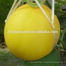 MSM26 Jinhuang blanc chair hybride jaune graines de melon sucré