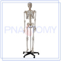 high quality human skeleton labeled for hospital
