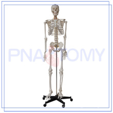 PNT-0101h 170cm Medical Anatomical Human Skeleton Model