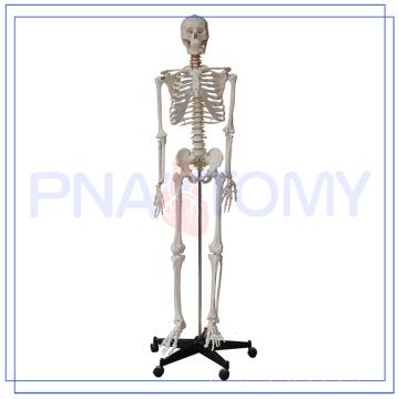 Modelo de esqueleto adulto de tamanho total PNT-0101h