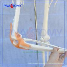 Meistverkaufte PNT-0107 Menschenleben Größe Skelettmodell