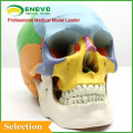 Anatomical Plastic Human Skull Model for Medical Education