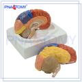 PNT-0612 Modelo de Cérebro Educativo em Plástico com 3 Partes