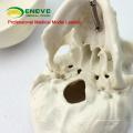 SKULL08 (12334) Modèle de mini crâne avec la valeur artistique, modèle de jeu de main, modèle précis de crâne anatomique pour la science médicale