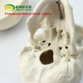 SKULL08 (12334) мини-модель черепа с художественной ценностью, модели рук, точные анатомические череп модель для медицинских наук