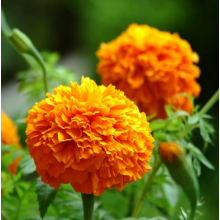 China Manufacturers for Potmarigold Calendula French marigold flower seed on sale supply to United States Minor Outlying Islands Manufacturers
