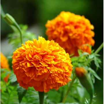 French marigold flower seed on sale