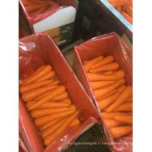 Saine / propre / meilleure qualité carotte fraîche en vente